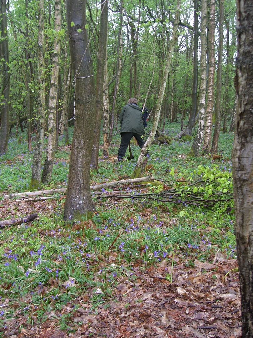 Oscar felling a Birch Tree