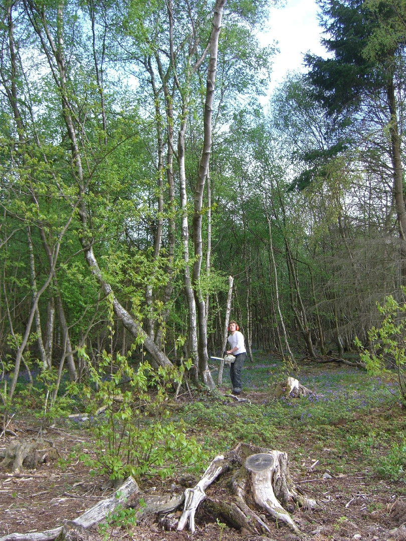 Back cut to fell Birch Tree