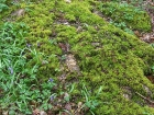 Moss on Oak