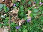 Violets on the main track